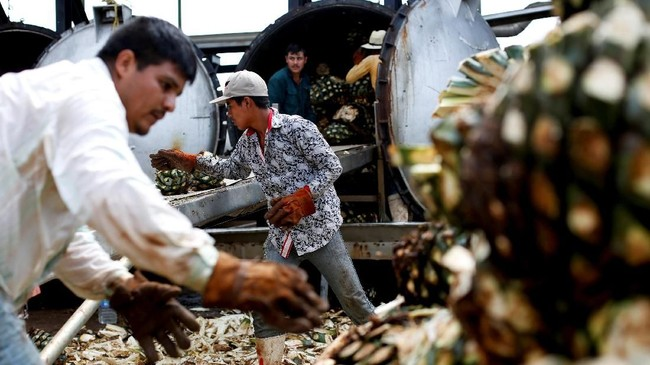 Dalam proses pembuatan tequila, jimador menggunakan alat yang disebut 'coa' untuk memotong daun runcing dari tanaman, lalu membuatnya terlihat seperti nanas raksasa. Menurut Perez, pekerjaan ini tak mudah karena kalau tidak awas, bisa memotong kaki. (REUTERS/Carlos Jasso)
