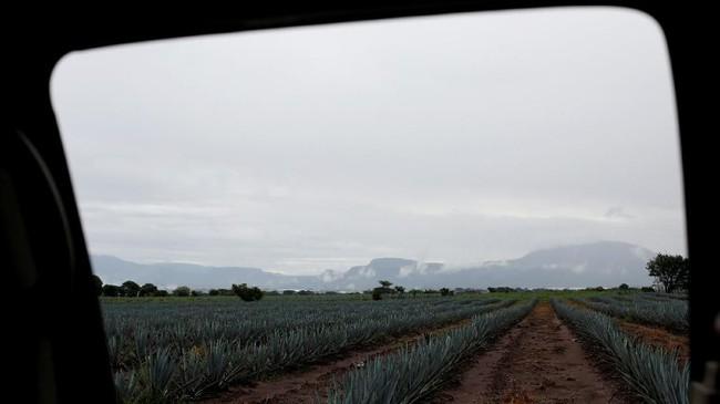 Tequila sesuai namanya merupakan minuman distilasi yang terbuat dari tanaman agave yang dibuat di sekitar kota Tequila, 65 kilometer barat laut Guadalajara, negara bagian Jalisco, Meksiko. Di sini, para 'jimador' sebutan untuk petani kaktus agave telah bekerja di ladang selama beberapa generasi.(REUTERS/Carlos Jasso)
