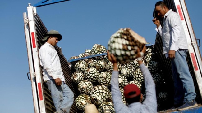 Di masa lampau, agave dimasak di ruang bawah tanah, meski masih ada yang menjalaninya di beberapa daerah. Namun, banyak juga tequila ekspor sekarang yang dibuat di industri penyulingan besar yang dijalankan Diageo, Bacardi dan Jose Cuervo di Meksiko. (REUTERS/Carlos Jasso)