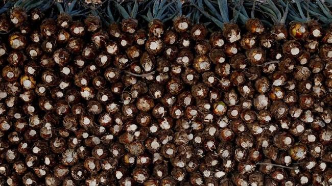 Namun, popularitas tequila ternyata tak dibarengi dengan ketersediaan bahan produksi. Produksi agave menurun, ditambah lagi generasi muda kini yang menghindari apa yang dulunya merupakan pekerjaan yang sangat dihormati. (REUTERS/Carlos Jasso)