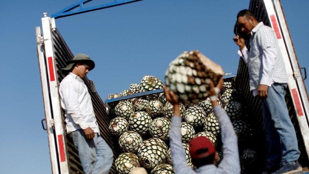 Agave merupakan spesies tumbuhan iklim kering yang digunakan sebagai bahan dasar pembuatan Tequila.