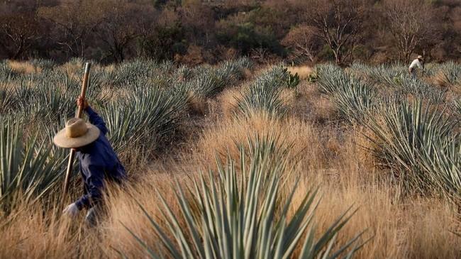 Menanjaknya popularitas tequila membuat penjualan minuman itu menjadi industri bernilai miliaran rupiah. Namun, siapa mengira produksinya tetap berakar pada metode pertanian yang berusia berabad-abad dengan menggunakan tangan di kota asalnya, Tequila, Meksiko.(REUTERS/Carlos Jasso)