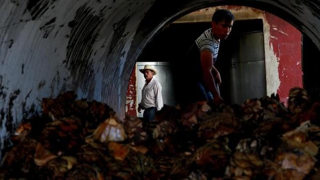 Sebagian besar produksi agave sebagai bahan baku tequila dijalankan turun menurun dari generasi ke generasi di Meksiko. Salah satunya, Jose Luis Flores, 41, yang mewarisi tujuh 'lahan' agave, ketika ayahnya meninggal akhir tahun lalu. (REUTERS/Carlos Jasso)