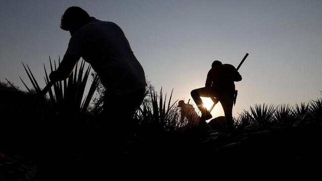 Mario Perez, salah seorang jimador berusia 39 tahun, pada Reuters mengungkapkan dirinya sangat bangga menjadi seorang jimador.