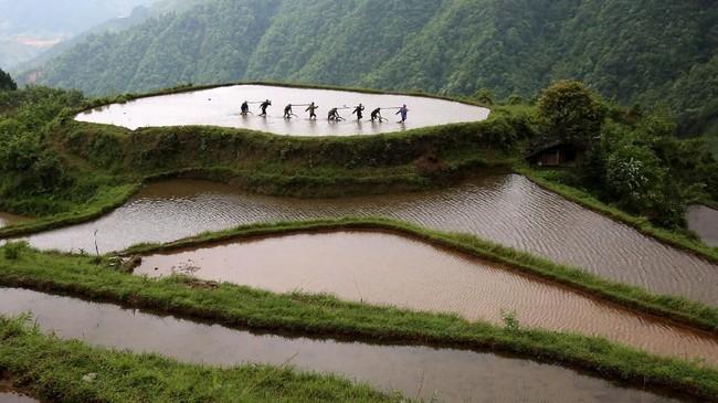 Penduduk kampung Miao mengambil bagian dalam kompetisi menanam sawah di Provinsi Guangxi, China, dalam rangka menyambut datangnya