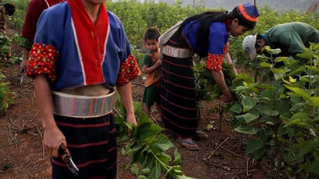 Beternak ulat sutra terbukti memberikan hasil yang lebih menguntungkan bagi para penduduk Myanmar Timur sehingga mereka perlahan bisa meninggalkan pekerjaan sebagai produsen opium. (REUTERS/Ann Wang)