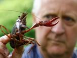 Waw, Perang Dagang Untungkan Lobster Kanada