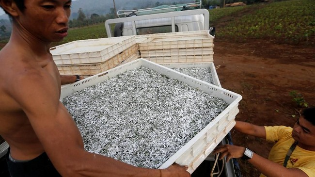 Dimulai tiga tahun lalu, kini 2000 hektar tanah di area yang berbatasan dengan China itu telah disulap menjadi peternakan, menghasilkan setidaknya 288 ribu kilogram kepompong. (REUTERS/Ann Wang)