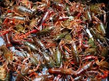 Nah Lho! KPPU Selidiki Praktik Monopoli Ekspor Benih Lobster