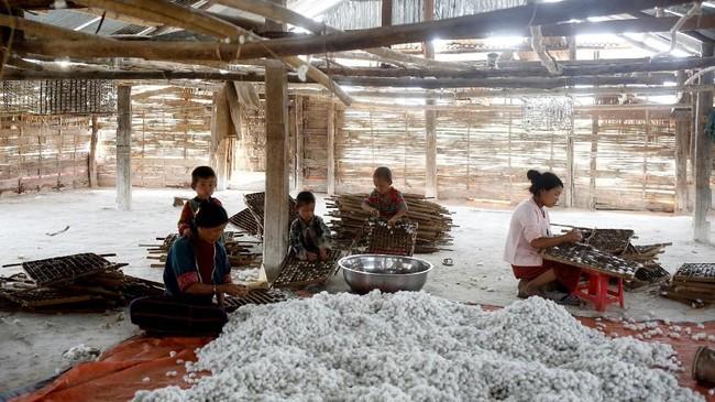 Setidaknya 1800 keluarga pun terlibat dalam peternakan ulat sutra tersebut. Masa panen diperkirakan berlangsung pada bulan April hingga November, dengan kisaran dua pekan sekali. (REUTERS/Ann Wang)