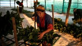 Suatu perusahaan China kemudian bekerja sama dengan para peternak ulat sutra itu untuk memproduksi gulungan-gulungan kapas, sehingga mereka lepas dari jeratan bunga Poppy. (REUTERS/Ann Wang)