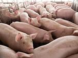 Gara-Gara Flu Afrika, China Bakal Impor Banyak Babi