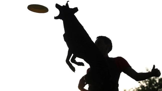 Seekor anjing melompat tinggi ke udara sembari menangkap piring lempar di sebuah taman di Madrid, Spanyol. Pemilik sang anjing terpotret di belakangnya. (REUTERS/Sergio Perez)