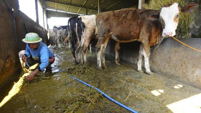 Seorang warga mengumpulkan kotoran sapi pada pagi hari di Desa Urutsewu, Ampel, Boyolali, Jawa Tengah, Kamis (10/5). Kotoran sapi dijadikan bahan bakar gas buatan yang kemudian dikembangkan menjadi Biogas Sapi. (ANTARA FOTO/Aloysius Jarot Nugroho)