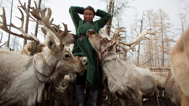 Dukha dan warga setempat lainnya memburu rusa liar untuk dijual ke China hingga hingga hewan-hewan itu menjadi langka. (REUTERS/Thomas Peter)