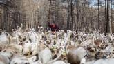 Pada 2012, pemerintah Mongolia menyatakan sebagian besar lahan penggembalaan tradisional Dukha sebagai bagian dari Taman Nasional untuk melindungi ekosistem yang rusak beberapa dekade sebelumnya. (REUTERS/Thomas Peter)