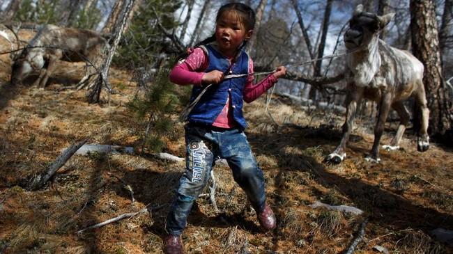 Hampir seluruh hidup Chuluu dihabiskan di kawasan itu. Melanjutkan Dukha, tradisi nenek moyangnya yang telah berusia berabad-abad. Tradisi itu dikenal dengan keterampilan penggembalaan di hutan Pegunungan Sayan yang berbatu-batu, yang membentang di perbatasan Rusia. (REUTERS/Thomas Peter)