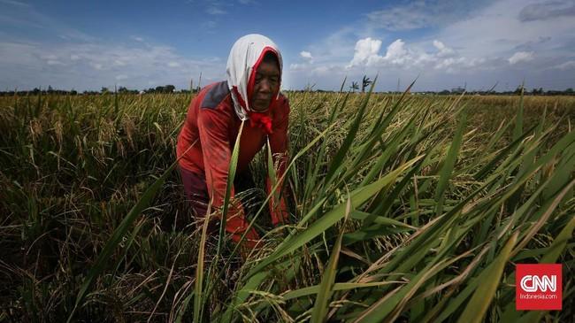 Badan Pusat Statistik (BPS) memproyeksi penduduk Indonesiapada 2018 berjumlah 265 juta jiwa, meningkat 12,8 juta jiwa dibanding 2014. Berdasarkan data pertumbuhan penduduk di atas, kebutuhan konsumsi berasdiperkirakan bertambah 1,7 juta ton. (CNNIndonesia/Safir Makki)