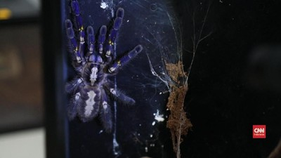 Cerita Jeffry Melawan Fobia Laba-laba dengan Tarantula