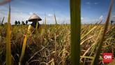 Pemerintah membantu petani lewat program rehabilitasi jaringan irigasi seluas 3,05 juta ha sejak awal dibangun dengan pinjaman Bank Dunia. Bantuan itu dipergunakan juga untuk pembuatan embung/long storage/dam parit 3.771 unit; bantuan alat mesin pertanian untuk mempercepat kenaikan IP 180.000 unit. (CNNIndonesia/Safir Makki)