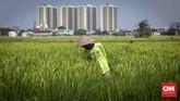 Petani memeriksa padi di areal persawahan Rorotan, Jakarta Utara, Kamis (24/5). Areal persawahan ini berada di tengah-tengah gedung pencakar langit Jakarta. (CNNIndonesia/Safir Makki)