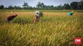 Menurut mantan Menteri Transmigrasi dan Pemukiman Siswono Yudo Husodo, potensi perluasan sawah di Indonesia masihberkisar enam juta hektare (ha). Seharusnya, Indonesia bisa menjadi lumbung pangan dunia, mengingat sumber daya yang ada, lahan yang luas dan subur. (CNNIndonesia/Safir Makki)