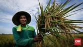 Darkiman, salah satu petani, memamerkan hasil panennya di kawasan Rorotan, Jakarta Utara, Kamis (24/5). Sektor pertanianmerupakan salah satu kontribusi utama pada perekonomian nasional. (CNNIndonesia/Safir Makki)
