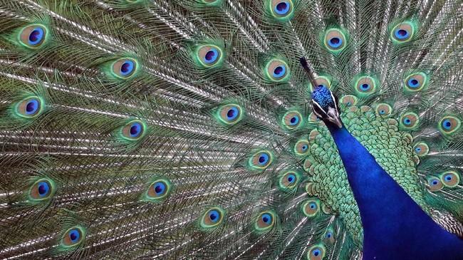 Seekor burung merak di kebun binatang Hellabrunn Munich, Jerman, memamerkan ekornya untuk menarik perhatian lawan jenis. (REUTERS/Michael Dalder)