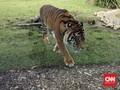 Harimau Serang Perkemahan di Taman Wisata Gunung Dempo