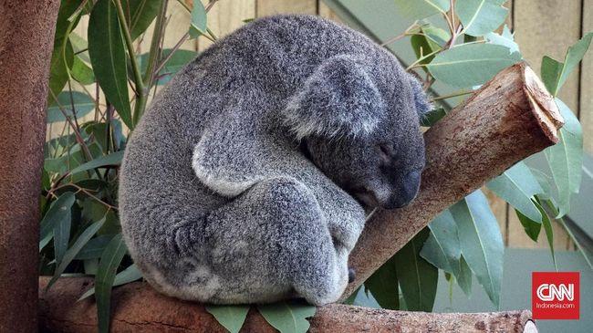 Ratusan Koala Diduga Mati akibat Kebakaran Hutan di Australia
