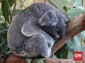 Menatap Koala Mengantuk di Symbio Wildlife Park