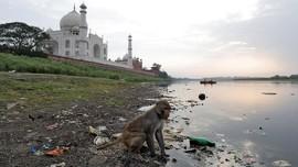 Habitat Tergusur, Kawanan Monyet Usik Pengunjung Taj Mahal