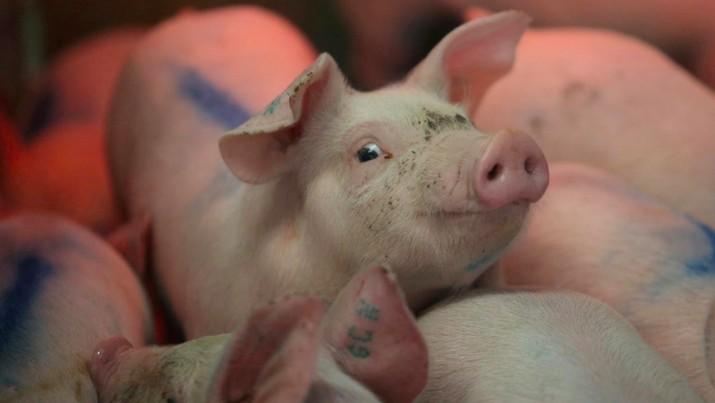 Flu Afrika Merajalela, Harga Babi Melonjak Tajam di China