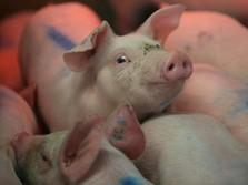 Solusi China Saat Babi Bikin Gempar dan Pengaruhi Ekonomi