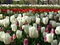 VIDEO: Bunga Tulip Penebar Rezeki di Belanda