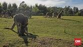 Kawanan kanguru yang dilepas bebas di kandangnya menjadi daya tarik bagi turis yang datang ke Symbio Wildlife Park Di sana turis bisa berfoto bersama dengan kanguru maupun koala.