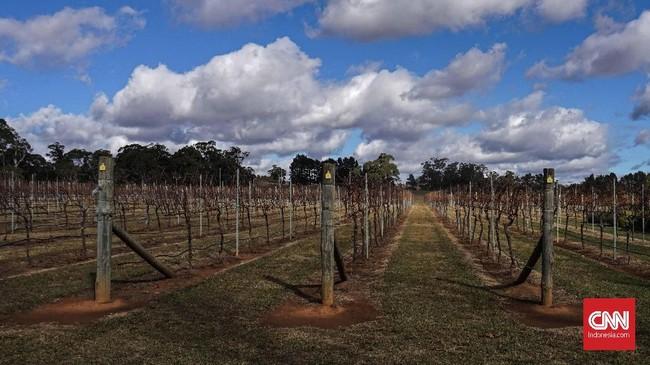 Tanaman anggur di salah satu perkebunan di daerah Southern Highland. Tanaman tersebut tengah meranggas saat memasuki musim dingin.
