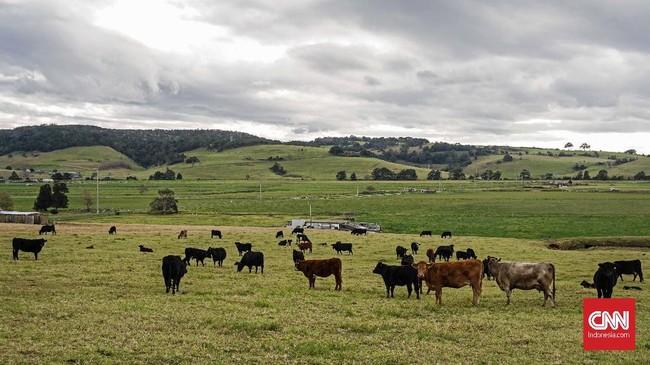 Sepanjang perjalanan menuju daerah Southern Highland, sabana terhampar di kanan-kiri jalan. Kawanan sapi sengaja dilepas liarkan di sabana yang hanya dibatasi pagar kawat dengan jalan raya.