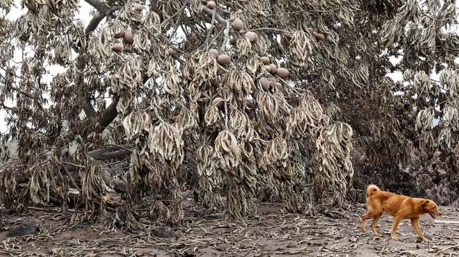 Seekor anjing berjalan melewati pohon yang daun-daunnya terselimuti abu letusan gunung berapi Fuego di San Miguel Los Lotes, kota Escuintla, Guatemala. Awal Juni ini, Guatemala didera salah satu bencana alam terparah dalam sejarah mereka. (REUTERS/Carlos Jasso)
