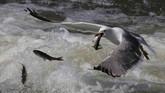 Seekor burung camar mencuri ikan dari danau Van di Van, Turki. Ikan pearl mullet yang hidup di air payau di danau tersebut harus bertahan dari serangan burung-burung camar ketika mereka bermigrasi. (Ali İhsan Öztürk/Anadolu Agency)