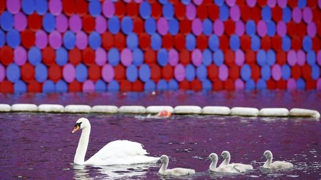 Sebuah 'piramida' mendadak muncul di tengah angsa-angsa yang berenang di danau di tengah Hyde Park, London. (REUTERS/Henry Nicholls)