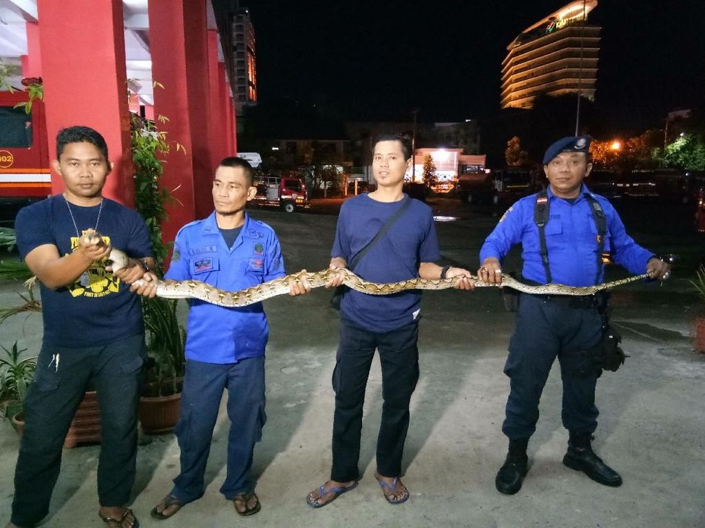 Foto: Ular Sanca 4 Meter Ditangkap Saat Hendak Cari Mangsa
