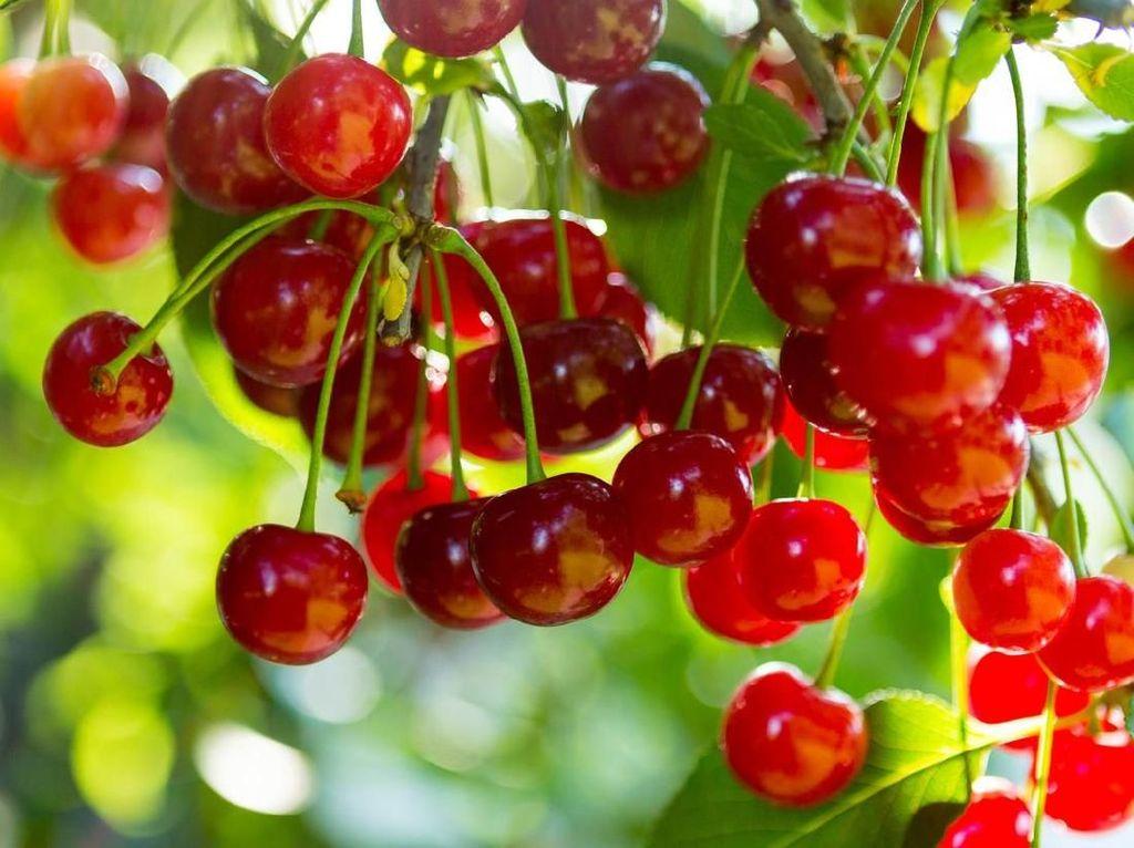 Beberapa buah memang bisa membuat lonjakan gula darah, tapi ada juga yang bermanfaat menurunkannya. Sebut saja misalnya buah ceri. Foto: Istock