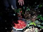 Kafe Bermunculan, Impor Kopi Melonjak Drastis 500%