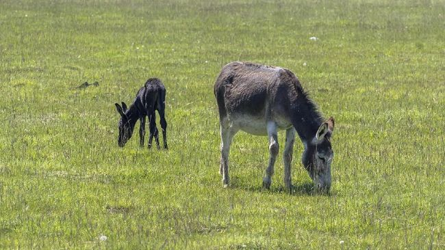 Amasijos, 'Betina Genit' Pemenang Kontes Kecantikan Keledai