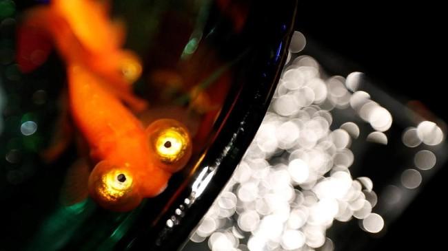 Tahun ini, Art Aquarium yang digelar di Nihonbashi mengusung tema 'Edi: Coolness of KINGYO.' Kingyo, atau ikan emas, telah menjadi ikon sejarah di area Nihonbashi, di mana orang-orang akan datang untuk melihat ikan emas dan bersantai sambil beristirahat dari terik matahari di musim panas. (REUTERS/Kim Kyung-Hoon)