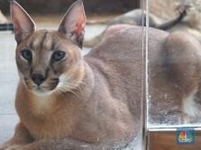 Kucing Liar Ini Harganya Mencapai Ratusan Juta Rupiah