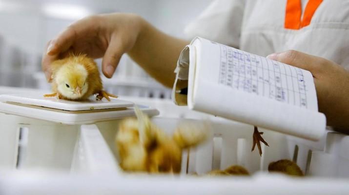 Saham-saham emiten produsen ayam dan pakan ternak (poultry) terus tertekan pada perdagangan Rabu ini (26/6/2019).