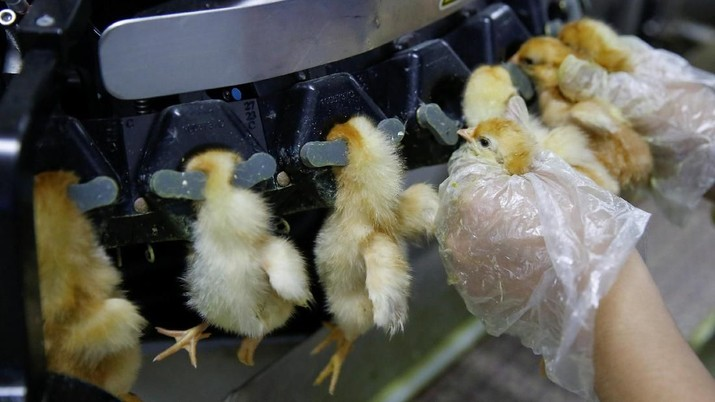 Banyak Peternak Ayam Gulung Tikar Sejak 2016, Ada Apa?