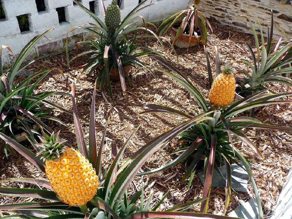 Nanas yang satu ini terlihat biasa saja. Tapi harganya $ 1.600 (Rp 22.9 juta). Ini karena nanas ini ditanam di The Lost Gardens of Heligan, perkebunan terkenal di Inggris. Bahkan ada buah nanas yang terjual dengan harga $1.500 (Rp 21.5 juta).Foto: Istimewa